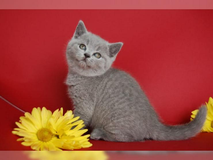 Bild 2: BKH Kätzchen Britisch Kurzhaar Katze Kater bkh Bluepoint