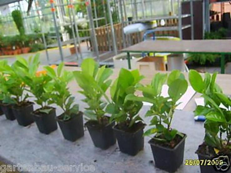 25 Stück Kirschlorbeer 15-20 cm Baumschulware