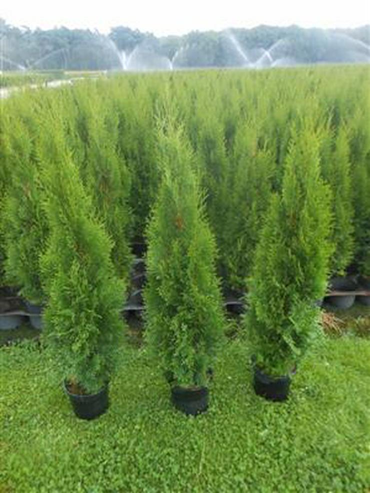 8 Stück Thuja Smaragd Lebensbaum Hecke immergrüne 60-80 cm