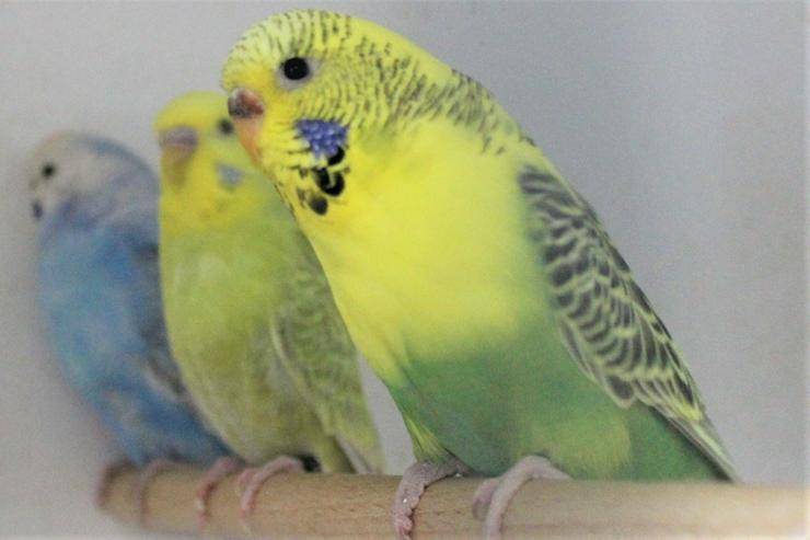Verkaufe junge und zuchtreife Rainbowwellensittiche, Schecken und neues Vogelzubehör