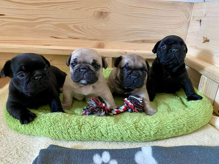 ALLE RESERVIERT! französische Bulldoggen Welpen zu vergeben
