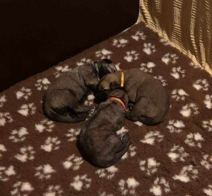 Bild 2: Irish Wolfhound Welpen irischer Wolfshund