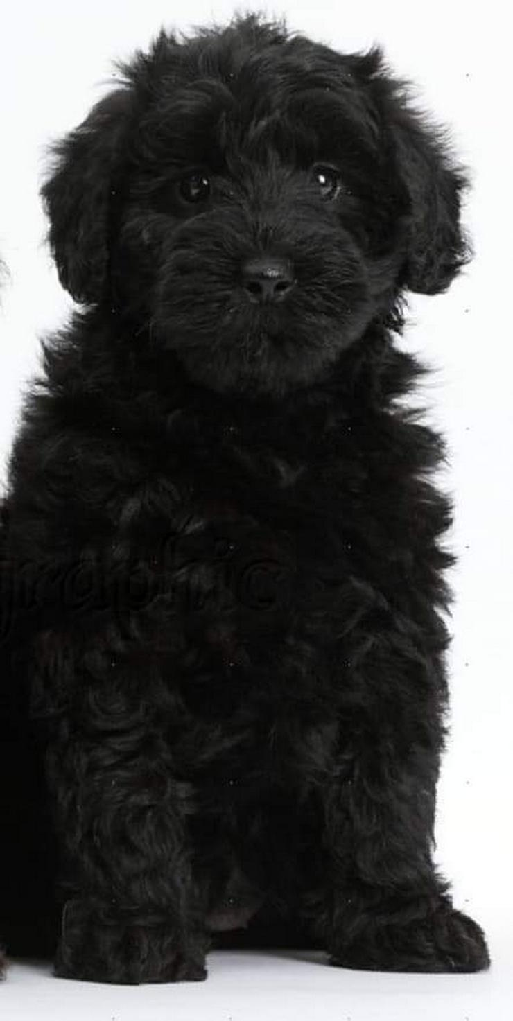 Neues Familienmitglied gesucht...Goldendoodle/Labradoodle