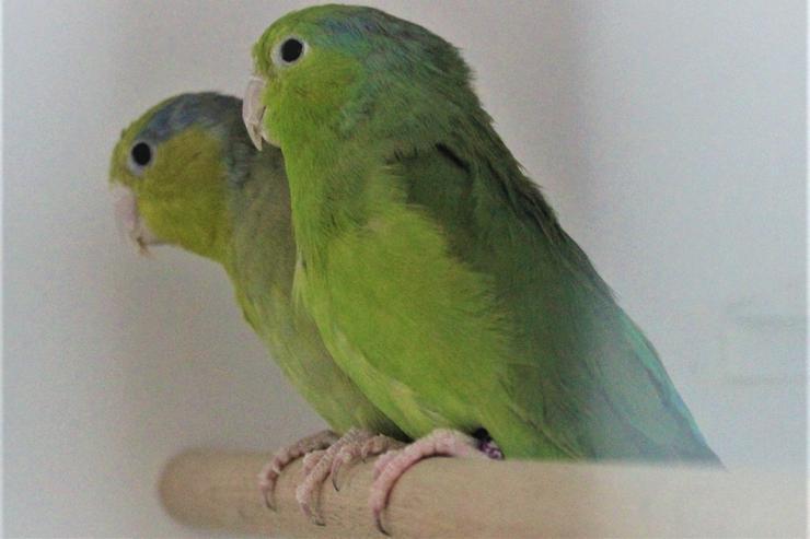 Verkaufe Blaugenicksperlingspapageien und neues Vogelzubehör