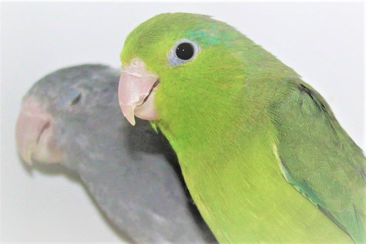 Verkaufe Blaugenicksperlingspapageien, Vogelkäige, Käizubehör, Zücherzubehör, Vogelutter