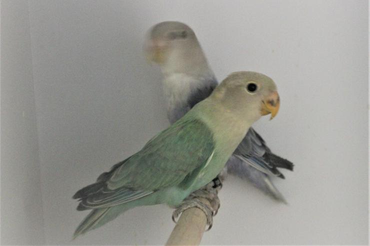 Verkaufe 2 junge Rosenköpfchenhennen un neues Vogelzuehör, Käfige, um.