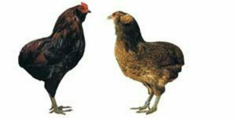 Araucana Hühner Rassegeflügel Junghennen Schutz geimpft