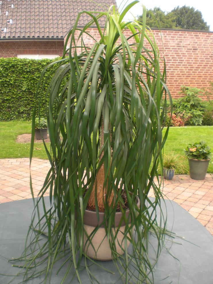 Zimmerpflanze Elefantenfuß Beaucarnea recurvata Flaschenbaum