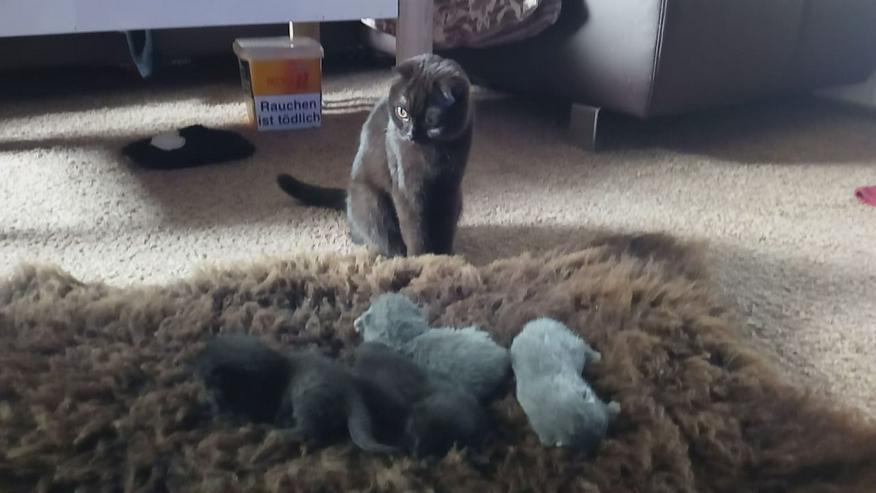 Britisch Kurzhar Kittens