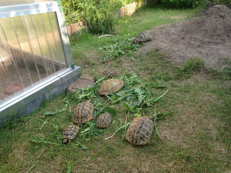 Griechische Landschildkröten T.H.B. NZ 2018, 2019