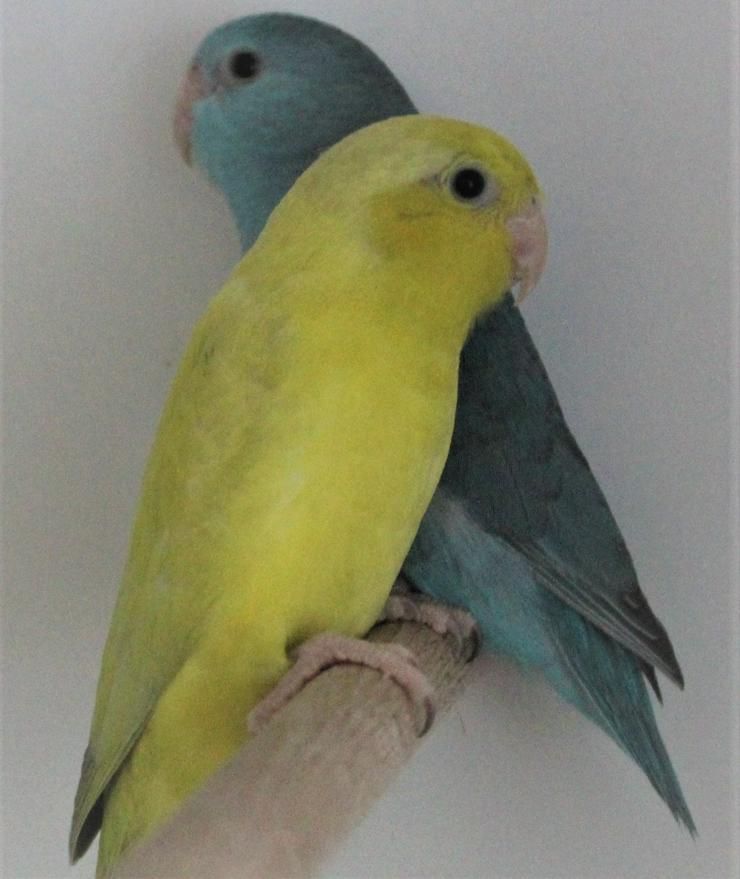 Verkaufe junge Blaugenicksperlingspapageien un neues Vogelzubehör