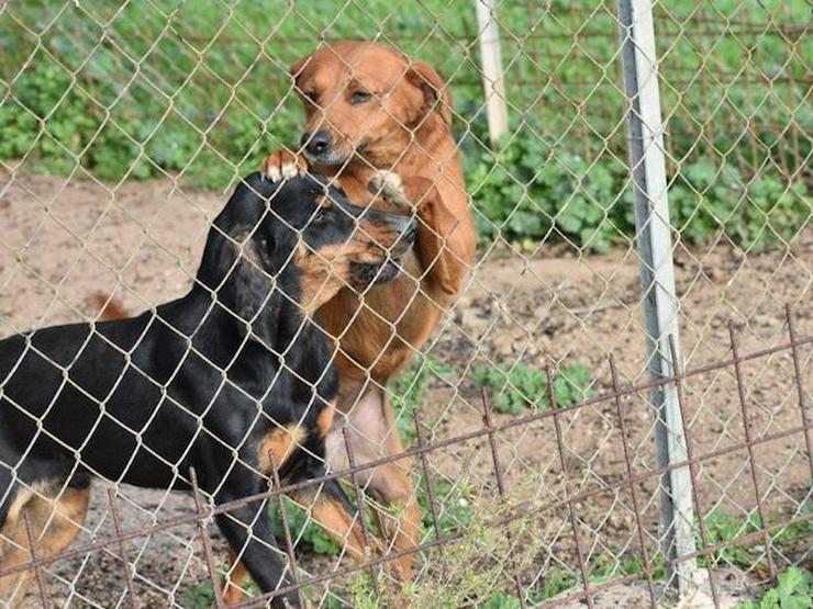 Lady sucht ihr Zuhause  - Mischlingshunde - Bild 1