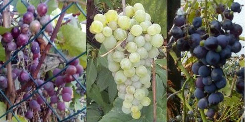 Biete: 3 Järige Trauben-Stöcke Jungpflanzen, Früchte, Beeren.