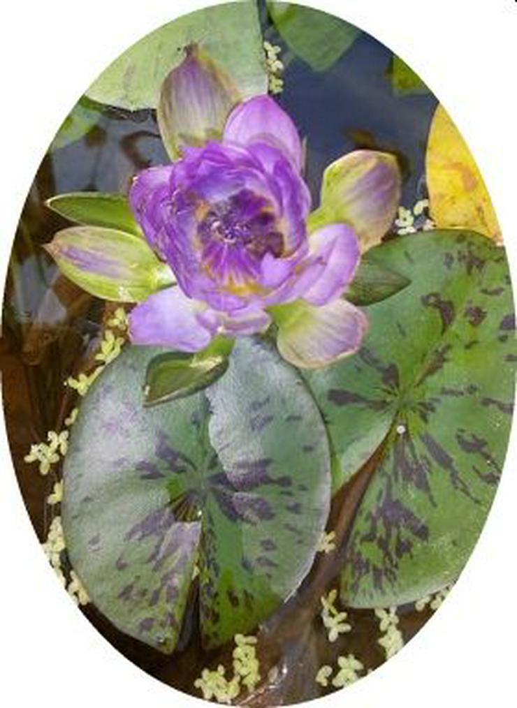 Bild 3: Biete: Seerose außen Rosa innen Roter Kern. Blume Pflanze