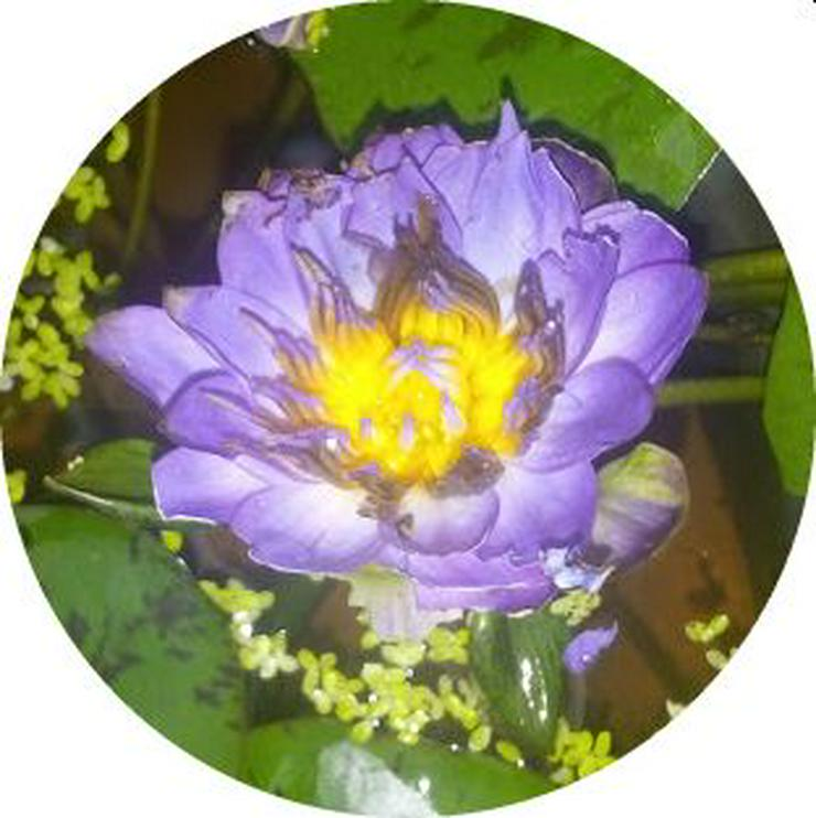 Biete: Seerose außen Rosa innen Roter Kern. Blume Pflanze