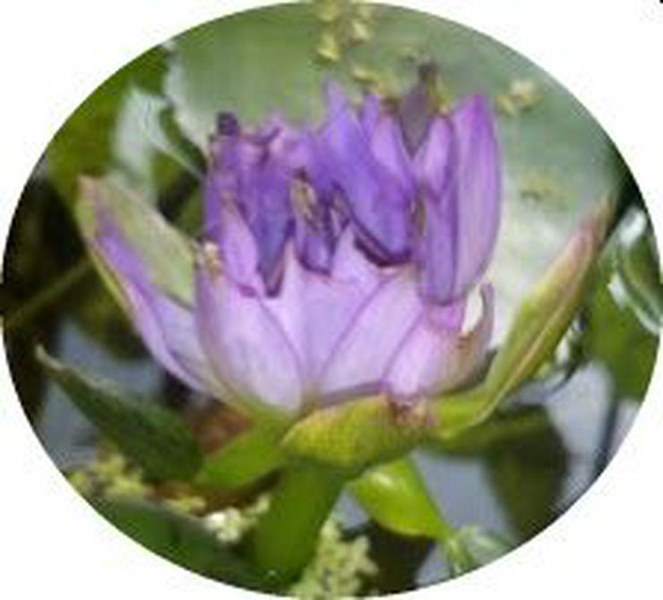 Bild 4: Biete: Seerose außen Rosa innen Roter Kern. Blume Pflanze