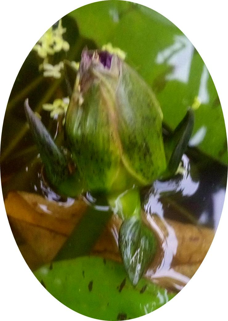 Bild 5: Biete: Seerose außen Rosa innen Roter Kern. Blume Pflanze
