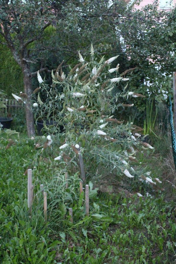 Biete: Sommerflieder Schmetterlingsflieder Weiß, Blumen, Pflanzen - Pflanzen - Bild 3
