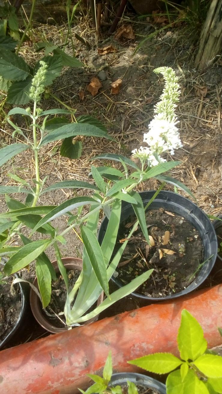Bild 2: Biete: Sommerflieder Schmetterlingsflieder Weiß, Blumen, Pflanzen