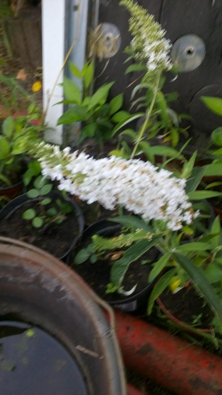 Biete: Sommerflieder Schmetterlingsflieder Weiß, Blumen, Pflanzen