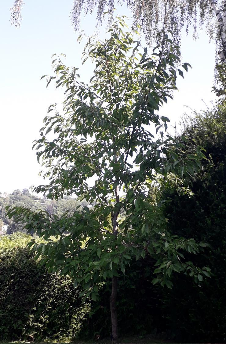 4 m Kirschbaum zu verkaufen
