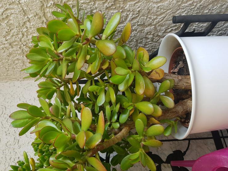 3 Geldbaumstecklinge  (Crassula Ovata) Steckling unbewurzelt