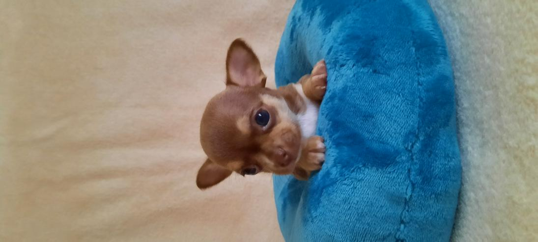 Bild 6: Wunderschöne Chihuahuawelpen in Kurz.-u.Langhaar