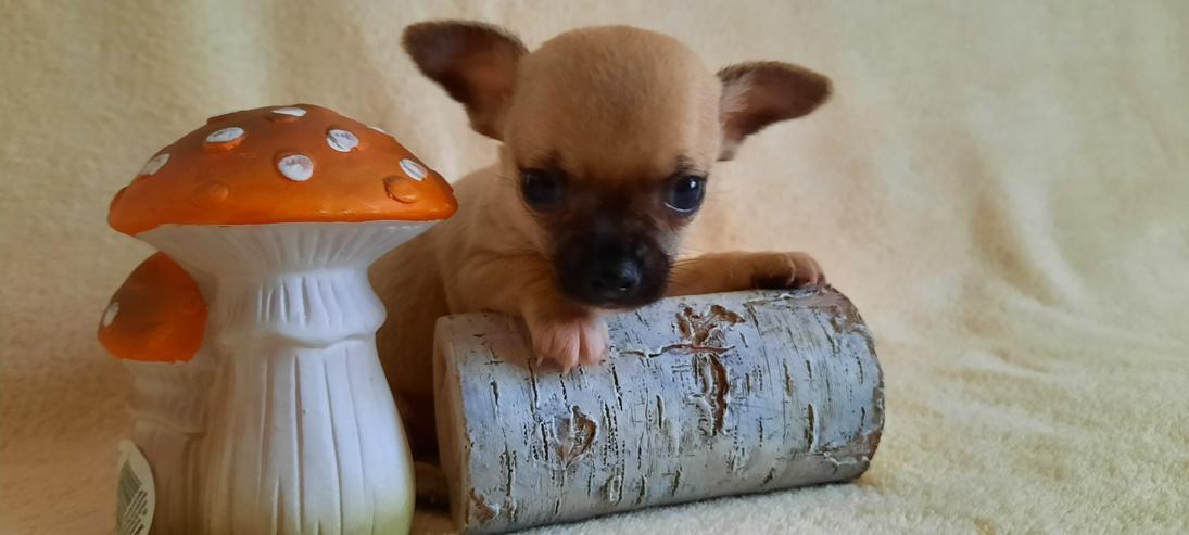 Bild 3: Wunderschöne Chihuahuawelpen in Kurz.-u.Langhaar