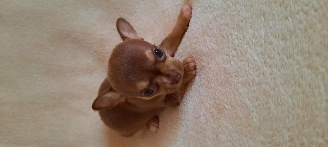 Bild 5: Wunderschöne Chihuahuawelpen in Kurz.-u.Langhaar