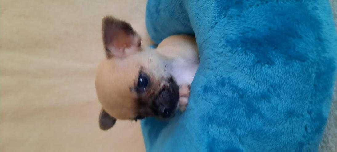 Bild 4: Wunderschöne Chihuahuawelpen in Kurz.-u.Langhaar