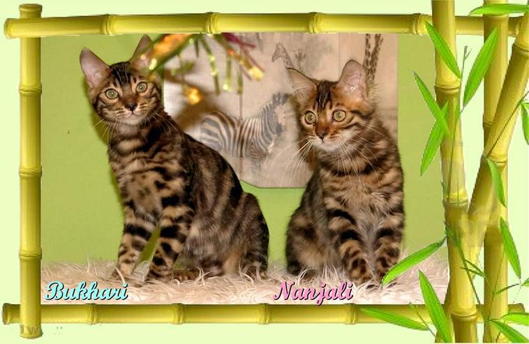 Exclusive Bengal Kitten,  mit super Rosetten, Top Stammbaum, auch für die Zucht