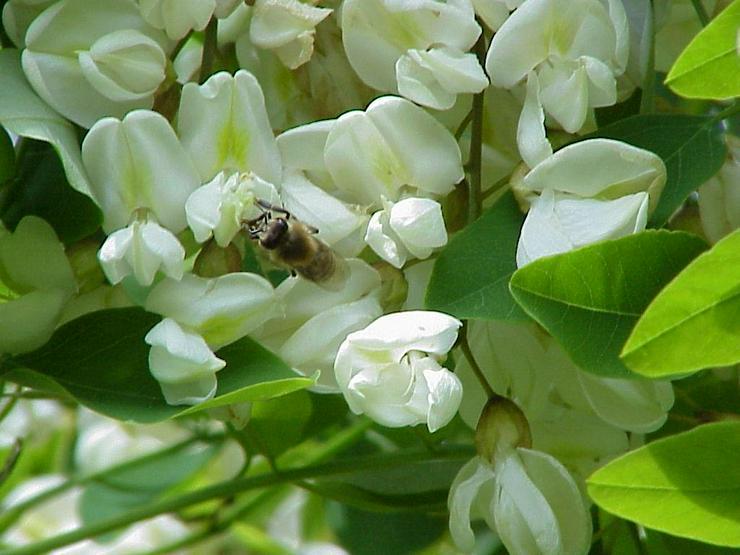 Bild 2: Robinienbäumchen, sehr bienenfreundlich, sind von 2 bis 5 Meter groß