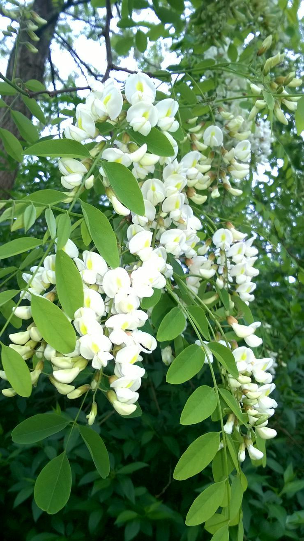 Robinienbäumchen, sehr bienenfreundlich, sind von 2 bis 5 Meter groß - Pflanzen - Bild 1