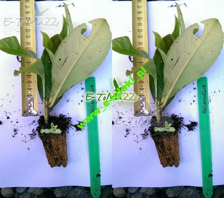 """Lorbeerkirsche """"Rotundifolia```` 20 cm + Dünger"""