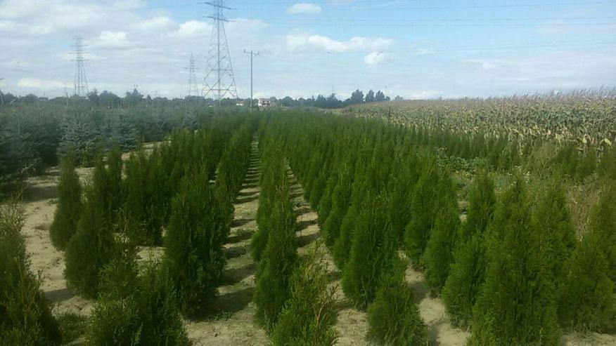 Thuja Smaragd 60-80 cm - Heckenpflanzen boden ohne Wurzelballen