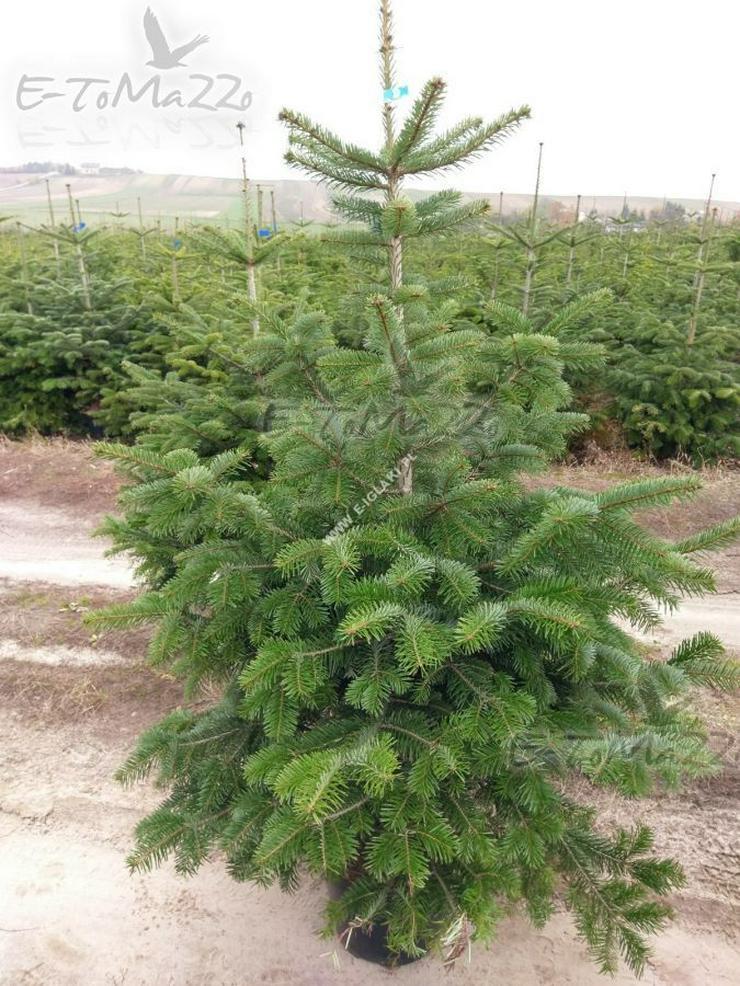 KAUKASISCHE TANNE - ein Weihnachtsbaum 120-140 cm Topf