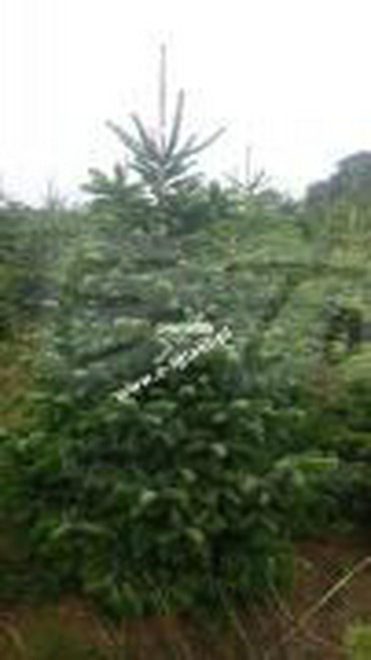 KAUKASISCHE TANNE - ein Weihnachtsbaum 180-200 cm geschnitten I KLASSE