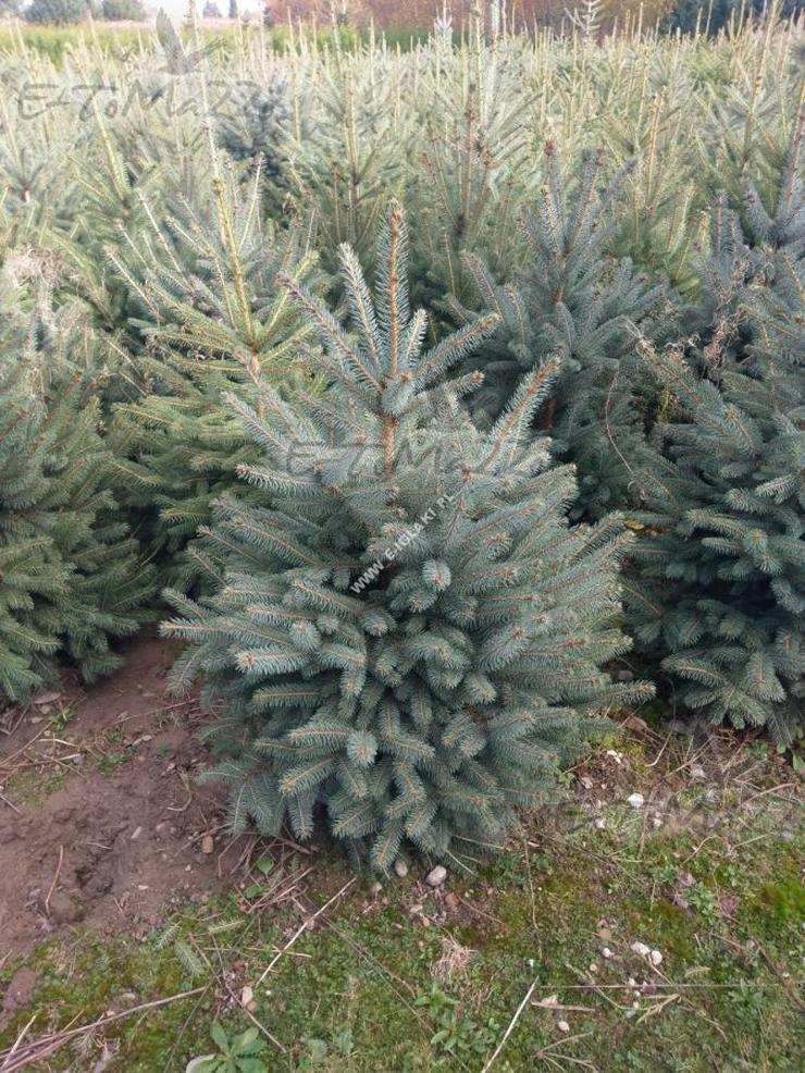 Blau Fichte Stachelig Kaibab - ein Weihnachtsbaum 80-100 cm SILVER geschnitten