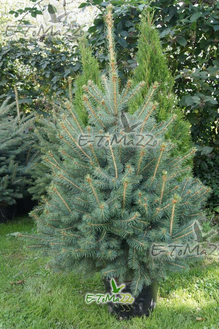 Blau Fichte Stachelig Kaibab - ein Weihnachtsbaum 80-100 cm SILVER Topf