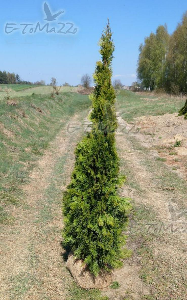 Thuja Smaragd 150-175 cm Thuja Lebensbaum Smaragd -Heckenpflanzen Wurzelballen Unsere Transport