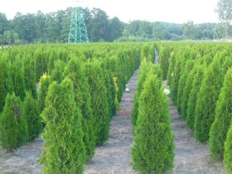 Thuja Smaragd 180-200 cm Thuja Lebensbaum Smaragd - Heckenpflanzen Wurzelballen Unsere Transport