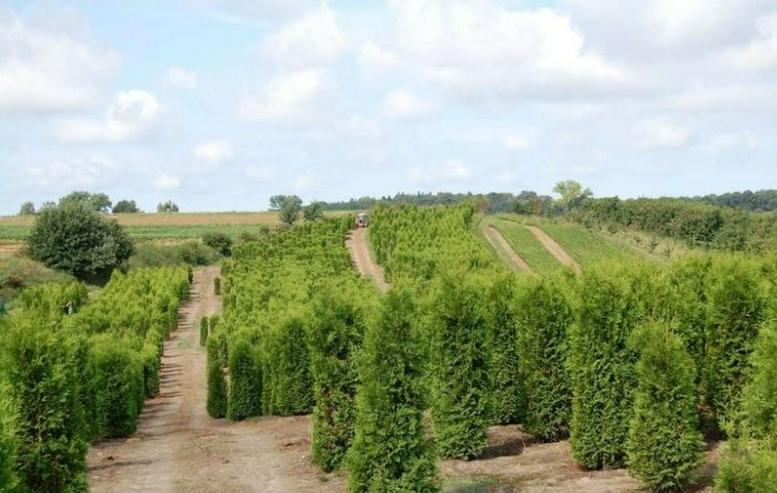 Thuja Brabant 270-300cm Lebensbaum Brabant - Heckenpflanzen Wurzelballen - Unsere Transport