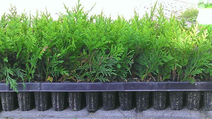 Thuja Smaragd - Sämlinge 5-15 cm Multiplate 1000 Stücke