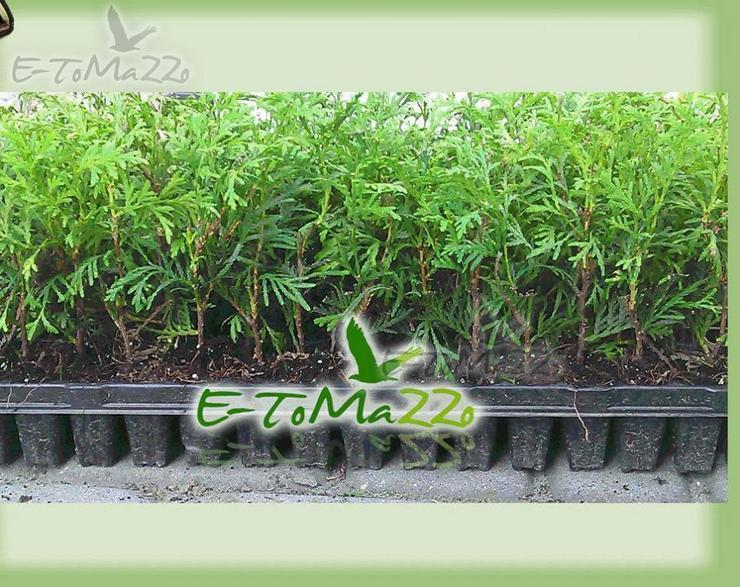 Thuja Brabant Produzent - Multiplate + Dünger 100 Stücke - Pflanzen - Bild 1