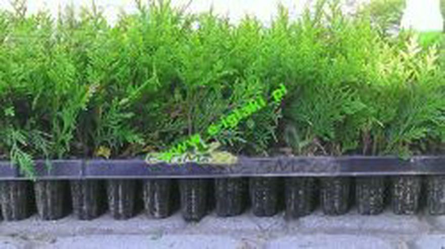 Thuja Smaragd - Sämlinge 5-15 cm Multiplate 100 Stücke