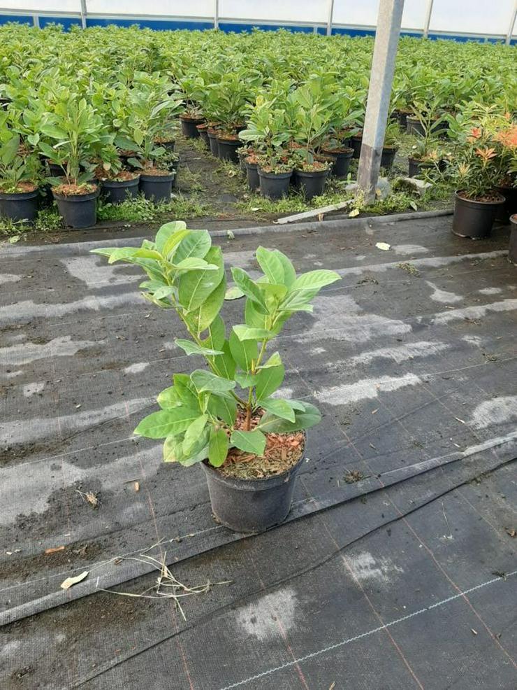 """Lorbeerkirsche """"Rotundifolia'' 30-50cm Topf 2L"""