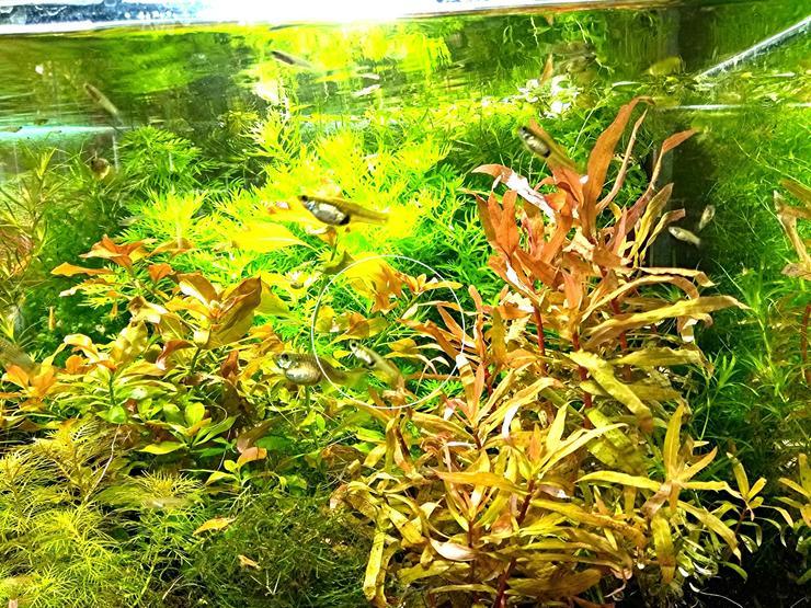 Cognacpflanze, Aquariumpflanzen, Versand