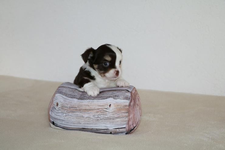 Wunderschöner Chihuahua-Welpe