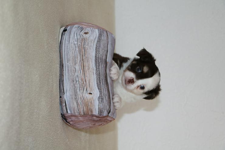 Bild 6: Wunderschöner Chihuahua-Welpe