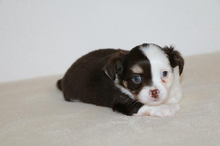 Bild 3: Wunderschöner Chihuahua-Welpe